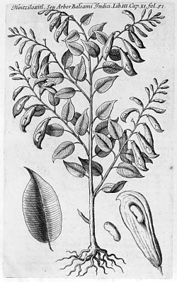 Balsam of Peru. Wellcome M0004466.jpg