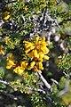 Balsamocarpon brevifolium Desierto florido 2011 Quebradita 01.jpg