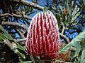 Banksia flower red.jpg