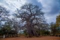 Baobab Trees, Messina District.jpg