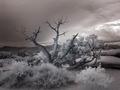 Bare tree in the desert near the Salton Sea, California LCCN2013633070.tif