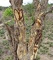 Bark extraction for medicine (8320462771).jpg
