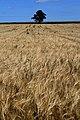 Barley Field - geograph.org.uk - 1434039.jpg