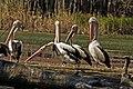 Barmah National Park, Victoria, Pelicans 1749a.jpg