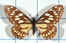 Baronia brevicornis no1 2.jpg
