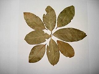 aromatic leaf of Laurus nobilis