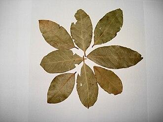Bay leaf - Bay laurel leaves (Laurus nobilis)