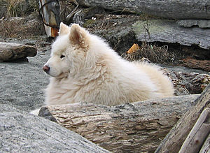 Samoyed dog - A male Samoyed