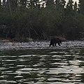 Bear on Big Island - panoramio.jpg