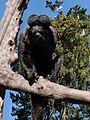 Bearded saki Curitiba Zoo.jpg