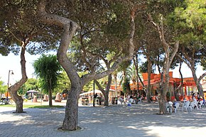 Beautiful pain trees in a park of San Pedro del Pinatar in Spain.JPG