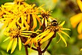 Bee Feeding (120844925).jpeg