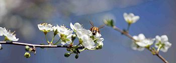 English: Bee during Spring Season on a Plum tr...
