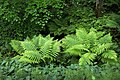 Beech, ferns and lily of the valley in Gullmarsskogen 1.jpg
