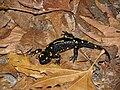 Belasitsa Salamandra salamandra.jpg