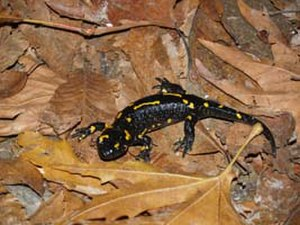 Belasitsa Nature Park - Salamandra salamandra