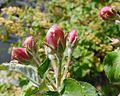 Belle de Boskoop flower buds.jpg