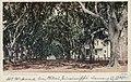 Benachi Avenue Oaks (NBY 1049).jpg