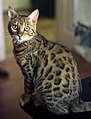 Bengal cat, five months old (2474931892) (cropped).jpg