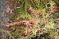Berberis sanguinea (Berberis panlanensis) - Quarryhill Botanical Garden - DSC03290.JPG