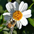 Bidens alba (Spanish needle) (6946051637).jpg