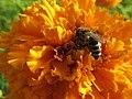 Biene bei der Arbeit - panoramio.jpg