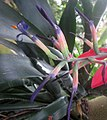 Billbergia porteana flower close-up.jpg