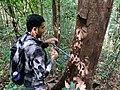 Biologist taking wood core IMG 20201127 121400.jpg