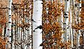 Birch tree at autumn.jpg