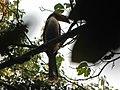 Bird White-throated Brown Hornbill Anorrhinus austeni IMG 9075 17.jpg