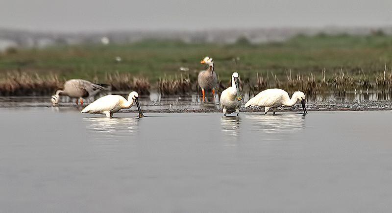 File:Birds of Chilika.jpg