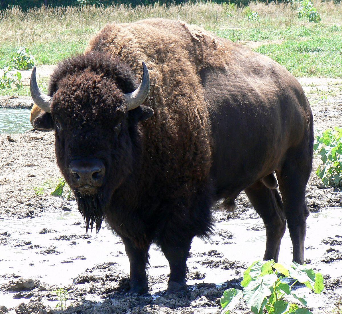 bison - photo #2