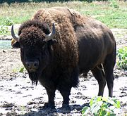 A bison bull on a Nebraska wildlife refuge.