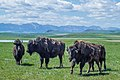 Bison in Castle Provincial Park 3.jpg