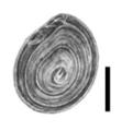 Bithynia leachii operculum.png