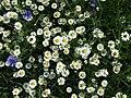 Blühstreifen 003.jpg