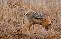 Black-backed Jackal (Canis mesomelas) female (33104969972).jpg