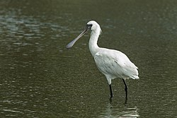 Black-faced Spoonbill - Taiwan S4E7626 (15396464166).jpg
