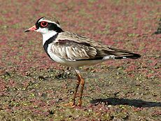 Black-fronted dotterel.jpg