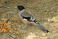 Black-headed Jay Garrulus lanceolatus by Dr. Raju Kasambe DSCN2465 (1).jpg