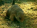 Black-tailed Prairie Dog 04.jpg