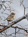 Black-throated Accentor (Prunella atrogularis) (37089275864).jpg
