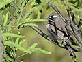 Black-throated Sparrow (33884455671).jpg