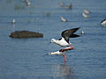 Black-winged Stilt 7193.jpg
