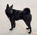 BlackNorwegianElkhound.jpg