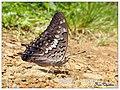 Black Rajah (Charaxes solon) പുള്ളിയിലശലഭം Family Nymphalidae (രോമപാദശലഭങ്ങൾ) (15329326095).jpg