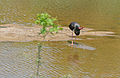 Black Stork (Ciconia nigra) drinking (16692809833).jpg