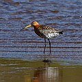 Black Tailed Godwit.jpg