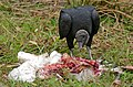 Black Vulture (Coragyps atratus) eating a dead Wood Stork (28624301103).jpg