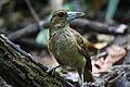 Black butcherbird juvenile.JPG